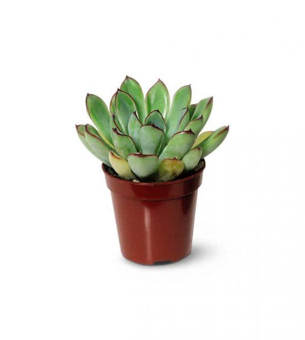 Mini succulent plant